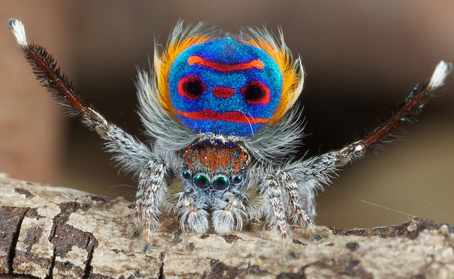 _X8A6285 peacock spider Maratus speciosus