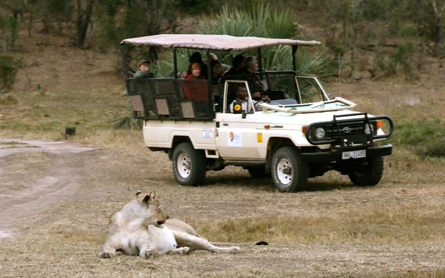 Lioness stalking a safari jeep in Tembe Elephant Park, South Africa