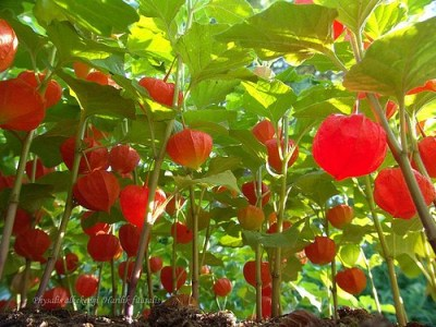 chinese lanterns physalis
