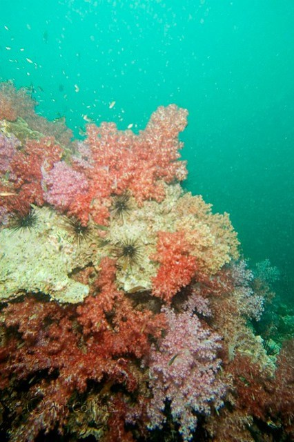 Sea urchins coral garden