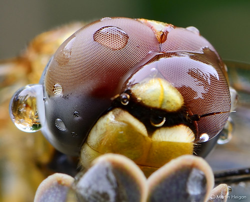Dragonfly Compound Eyes Macro by Martin_Heigan