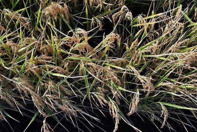 Espigas de arroz en La Puebla del Río, Sevilla