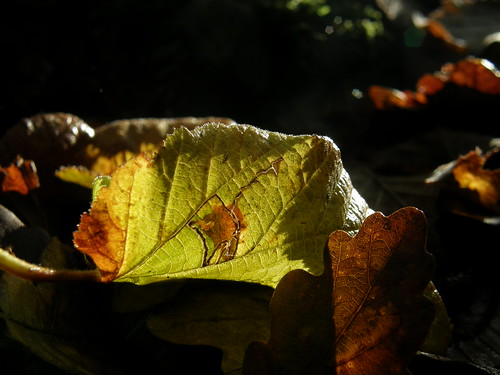 Back-lit leaf III