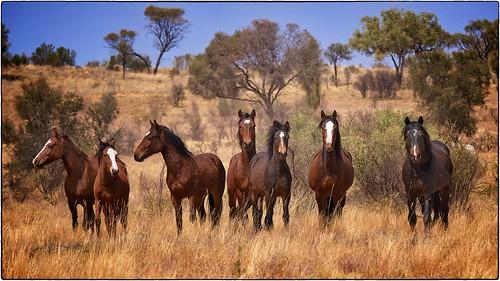 Wild Horses - Central Australia