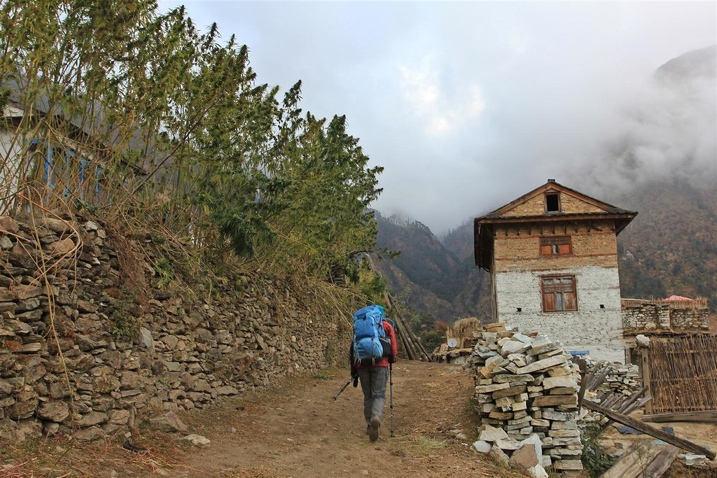 Huge stands of cannabis plants at the entrance of Chaurikot, Dolpo district, Nepal