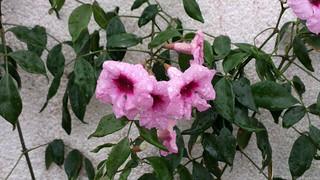 Wet Flower -PureView