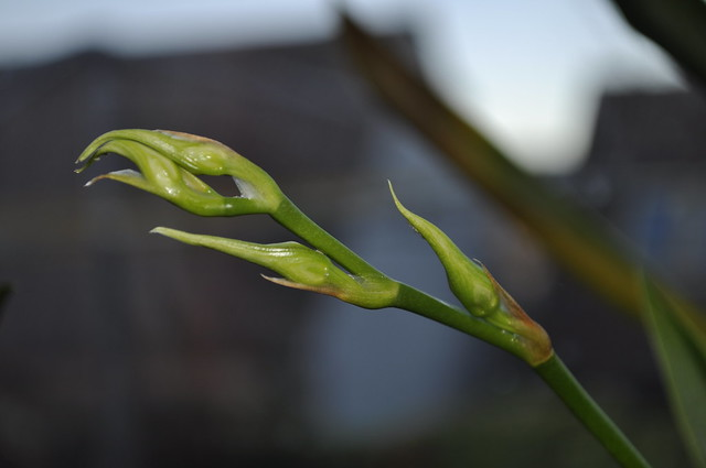 2012-11-18 Orchid 03