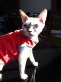 Doris the cat in her Cat-Couture tank top