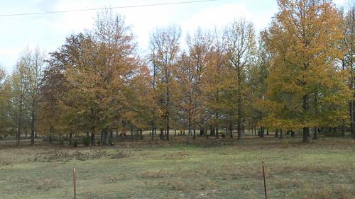 some trees of autumn