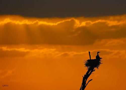 Cormorant Sunset
