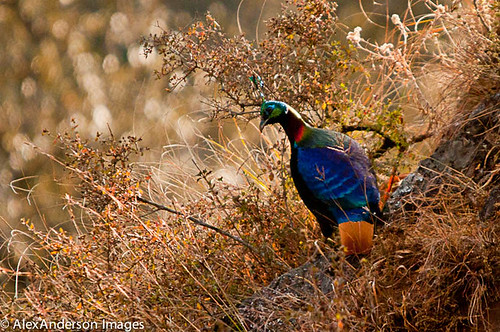 Danphe, Impejan Pheasant or Himalayan Monal) by complicado
