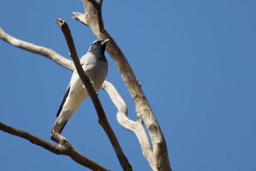 Black-faced Cuckoo Shrike 2012-11-22 (_MG_7111)