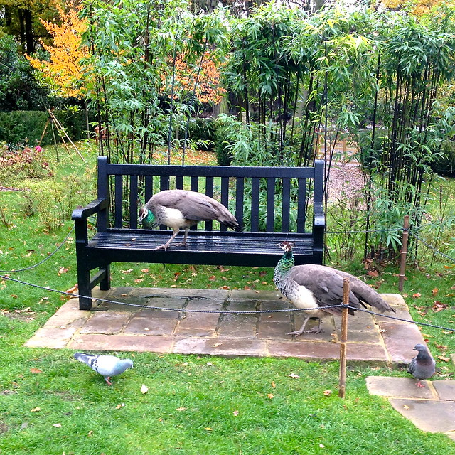 Peacocks in Holland Park