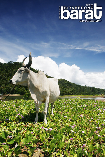 carabao in tignoan real quezon