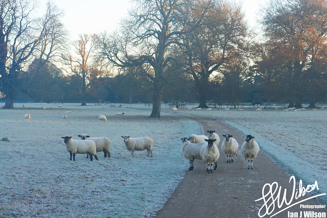 Christmas Sheep – Daily Photo (25th December 2012)