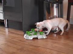 Cat using a stimulo feeding tray