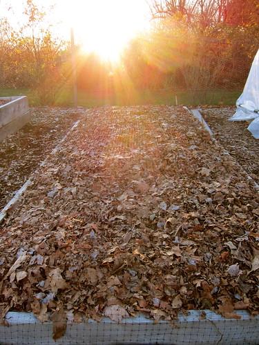 11.18.12 Planting garlic