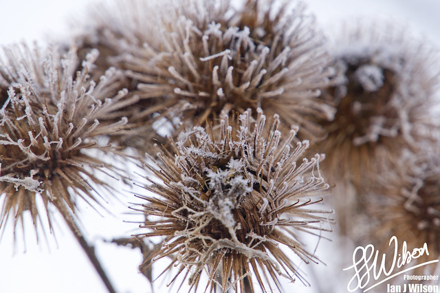 Thistles and Ice – Daily Photo (2nd December 2012)