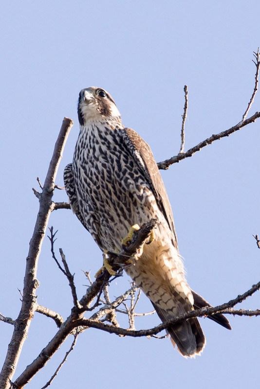 _DSC4368 Peregrine Falcon
