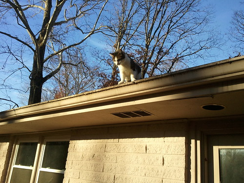 Cat on a hot asphalt shingle roof
