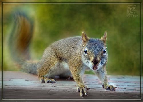 Squirrel Scolding