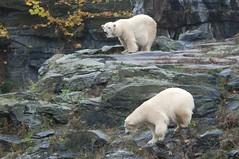 Eisbärinnen Aika und Tonja  im Tierpark Friedrichsfelde in Berlin