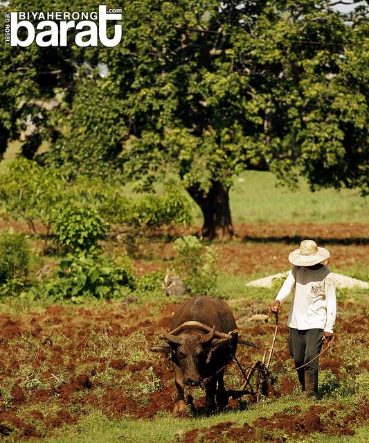 Farming in Madridejos Bantayan Island Cebu