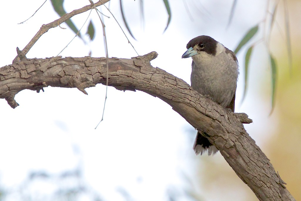Artamidae - Grey Butcherbird