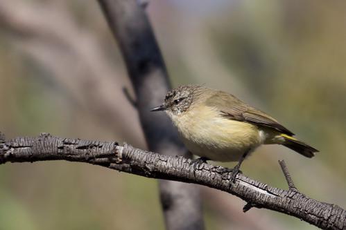 Yellow-rumped Thornbill 2012-11-16 (_MG_6847)