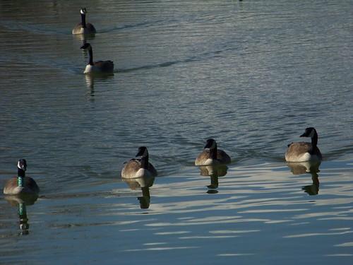 goose 017