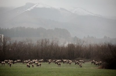 wild elk on the Oregon Coast