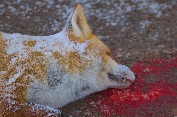 Les dangers de la route : un magnifique renard - Vulpes vulpes
