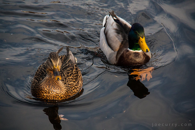 Mallard Ducks 2
