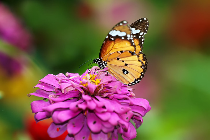 850D9905 - Butterfly, Flower and Bokeh