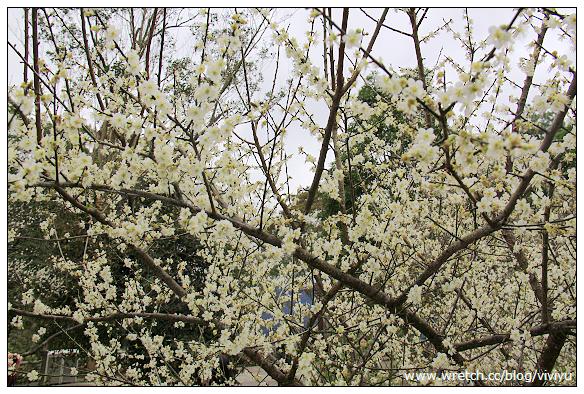 [桃園.旅遊]角板山行館~梅花正盛開.持續至農曆年 @VIVIYU小世界