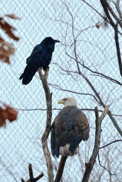 Raven and Eagle