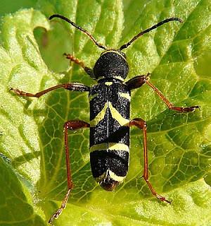 Clytus arietis Wasp Beetle