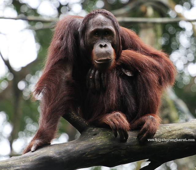Orang Utan in SIngapore Zoo