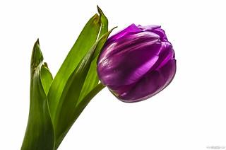 Tulip // 10 01 13