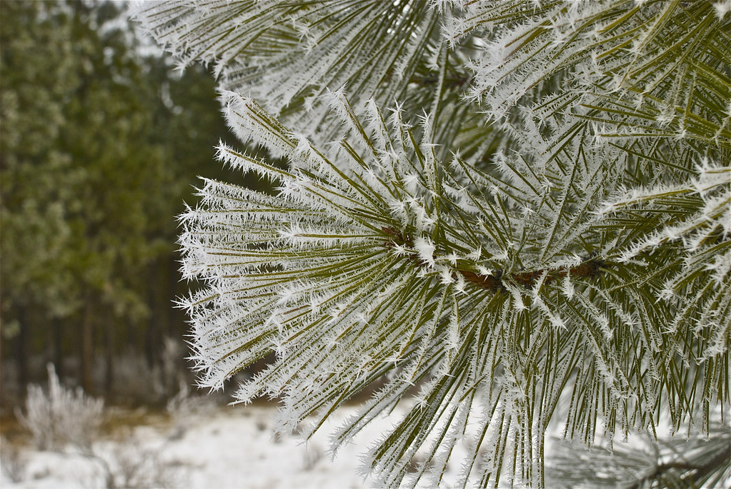 Frost on pine needles