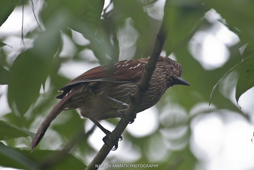 Striated Laughingthrush