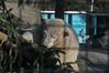 Eisbärin Lynn im Ouwehands Dierenpark in Rhenen