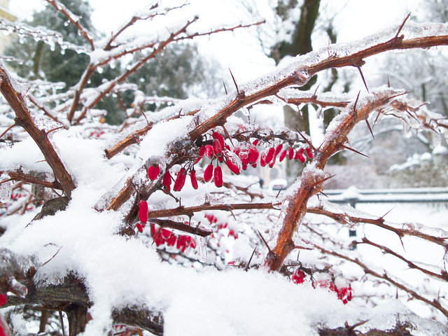 winter barberries. Lviv, Ukraine