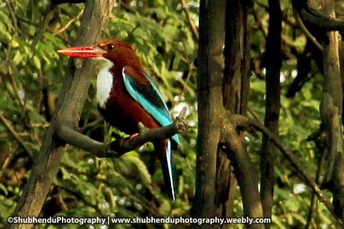 Kingfisher-5 by ShubhenduPhotography