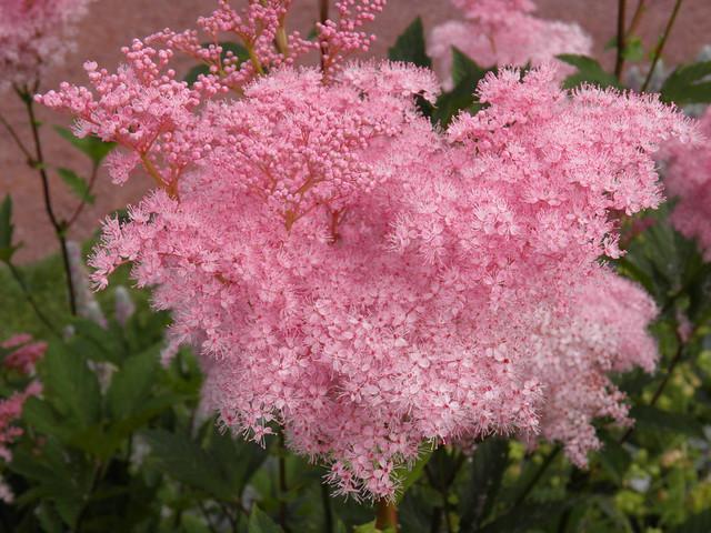 Розовый цветок // Pink flowers