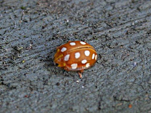 Orange Ladybird Halyzia 16-guttata Tophill Low NR, East Yorkshire Jan 2013