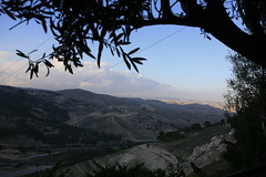 Olive tree view