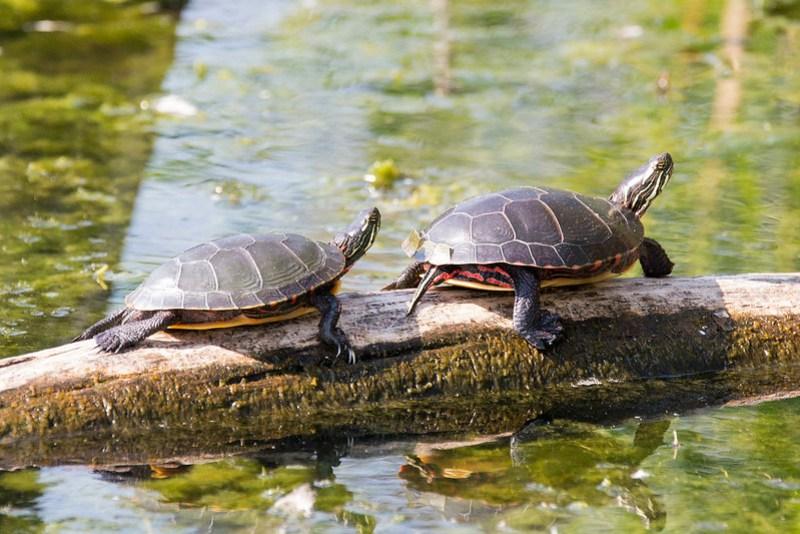 _DSC2350 Painted Turtles