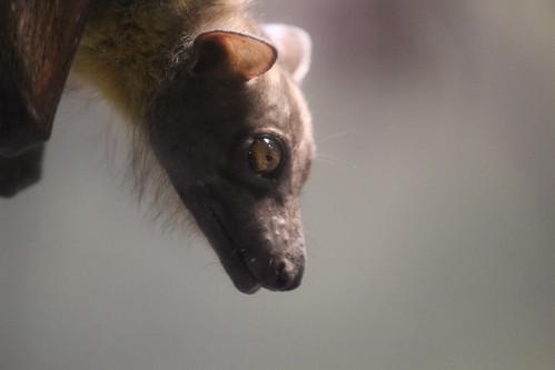 Straw-Colored Fruit Bat (3)
