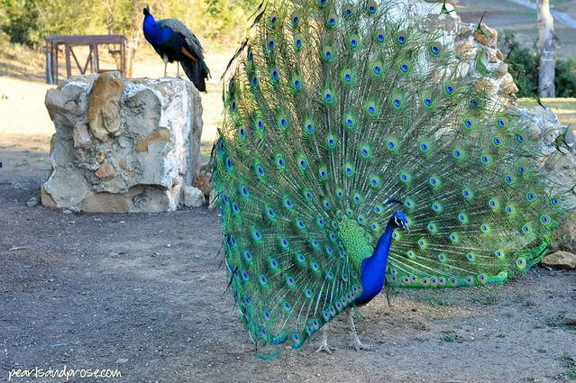 carillo_peacock_side_web